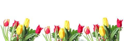 Fileira dos tulips Fotos de Stock Royalty Free