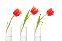 Fileira dos Tulips Fotografia de Stock Royalty Free