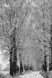 Fileira dos vidoeiros no inverno imagem de stock