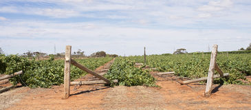 Fileiras aplainadas de videiras danificadas vento de Chardonnay Imagem de Stock Royalty Free