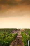 Fileiras bonitas das uvas antes de colher Imagens de Stock Royalty Free