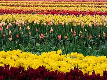 Fileiras coloridas das tulipas na terra crescente fotos de stock royalty free