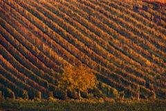 Fileiras coloridas de vinhas do vinhedo Autumn Landscape With Colorful Vineyards e árvore República de Autumn Grape Vineyards Of  Fotos de Stock