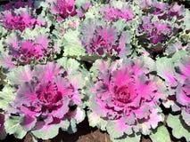 Fileiras coloridas do tipo diferente da alface plantado no jardim fotos de stock