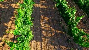 Fileiras com arbustos da uva video estoque