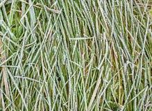 Grama congelada Imagem de Stock