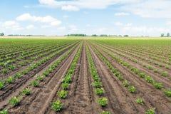 Fileiras convergentes longas com as plantas novas do aipo vermelho em um campo molhado Foto de Stock