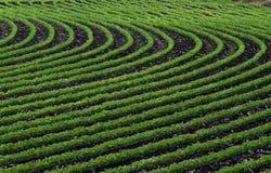 Fileiras curvadas do feijão de soja novo Fotografia de Stock