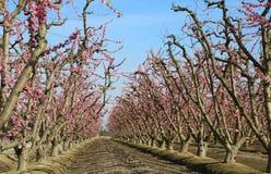 Fileiras da árvore de pêssego fotos de stock