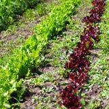 Fileiras da alface verde e vermelha nova da salada que cresce no campo Fotografia de Stock Royalty Free