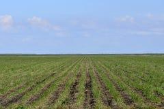 Fileiras da cana-de-açúcar nova Foto de Stock Royalty Free