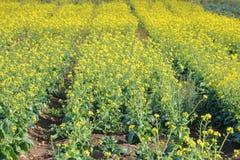 Fileiras da colheita do linho fotografia de stock royalty free