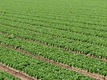 Fileiras da exploração agrícola da alface fotografia de stock
