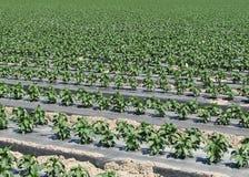 Fileiras da planta da pimenta fotografia de stock