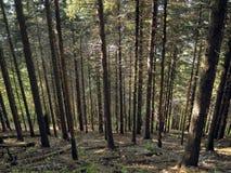 Fileiras das árvores no undergrowth imagem de stock