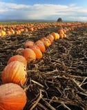 Fileiras das abóboras prontas para a colheita da queda Fotografia de Stock
