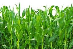Fileiras das hastes do milho que crescem em uma exploração agrícola imagens de stock royalty free