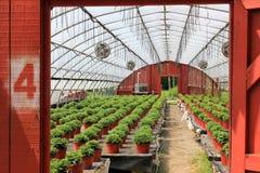 Fileiras das plantas dentro de uma estufa Fotografia de Stock Royalty Free