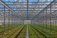 Fileiras das plantas novas que crescem na estufa Imagens de Stock