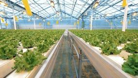 Fileiras das plataformas com os vasos de flores da alface introduzidos nele Estufa moderna dentro video estoque