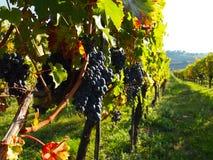 Fileiras das uvas em um vinhedo fotografia de stock royalty free