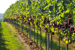 Fileiras das uvas para vinho Imagem de Stock