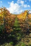 Fileiras das uvas para vinho fotografia de stock