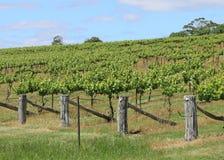 Fileiras das vinhas que crescem em um vinhedo Imagens de Stock Royalty Free
