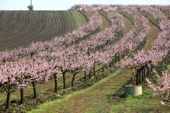 Fileiras de árvores de florescência Foto de Stock