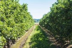 Fileiras de árvores de maçã imagens de stock