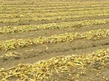 Fileiras de cebolas maduras no campo Imagem de Stock Royalty Free