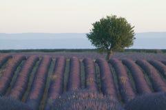 Fileiras de flores da alfazema Fotografia de Stock