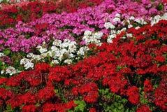Fileiras de florescência coloridas das flores fotos de stock royalty free