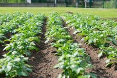 Fileiras de hortali?as verdes em um campo fotos de stock royalty free