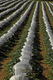 Fileiras de melões de Lectoure sob o cultivo Fotos de Stock Royalty Free