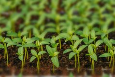 Fileiras de plântulas em pasta e de plantas novas fotografia de stock