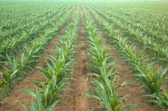 Fileiras de plantas de milho novas foto de stock royalty free