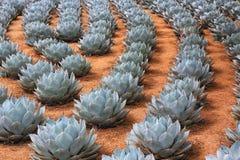 Fileiras de plantas da agave da alcachofra fotografia de stock