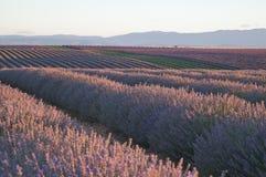 Fileiras de plantas da alfazema Imagem de Stock