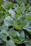 Fileiras de plantas da couve Imagem de Stock