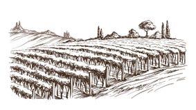 Fileiras de plantas da uva do vinhedo ilustração stock