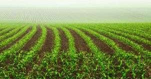 Fileiras de plantas de milho novas Imagem de Stock