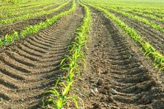 Fileiras de plantas de milho pequenas do cultivo orgânico em Itália Imagens de Stock Royalty Free