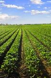 Fileiras de plantas de nabo em um campo Foto de Stock Royalty Free