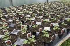 Fileiras de plantas de tomate novas fotografia de stock royalty free