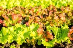 Fileiras de plantas frescas da alface em um campo Imagens de Stock Royalty Free