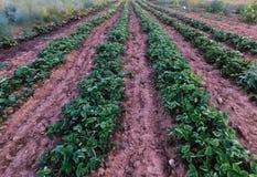 Fileiras de plantas de morango em um jardim Amish fotos de stock