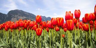 Fileiras de tulipas alaranjadas brilhantes contra montanhas no fundo Foto de Stock