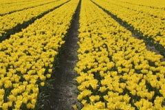 Fileiras de tulipas amarelas Imagens de Stock Royalty Free