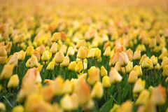 Fileiras de tulipas amarelas no Dutch Fotografia de Stock